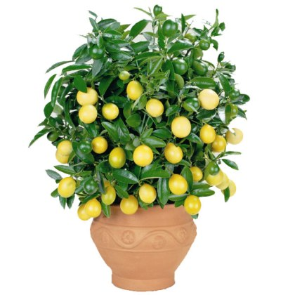lemontree22