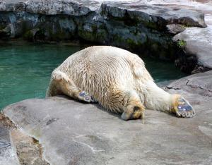 hangover_bear