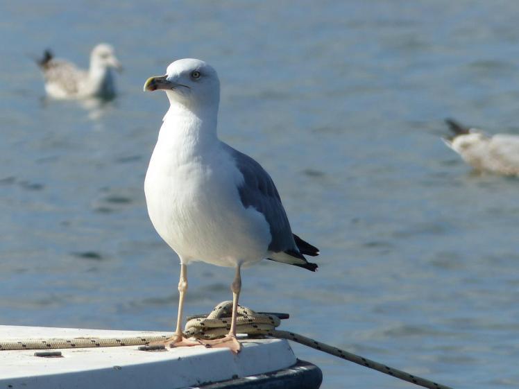 seagull Sicily