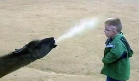 a llama spitting