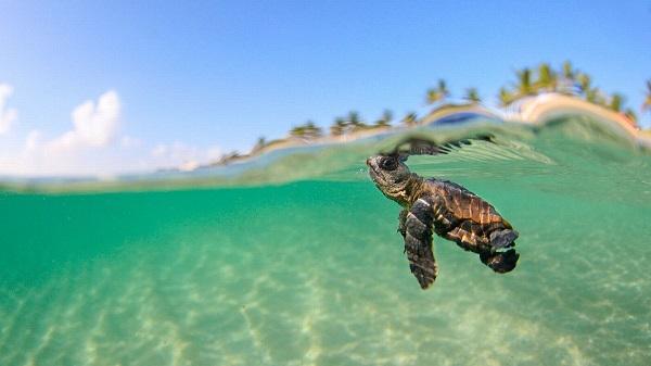 Loggerhead turtle in Lampedusa