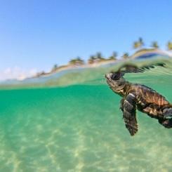 loggerhead-caretta-sea-turtle-rabbit-beach-lampedusa-italy-sicily