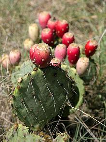 Sicilian prickly pears