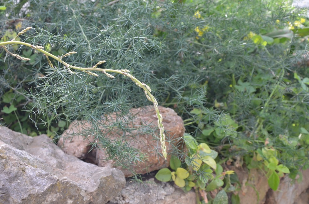 "A sprig of wild asparagus. This photo is from a blog called ""All things Sicilian and more"" written by a keen foodie who actually knows how to give you decent recipes!! And takes lovely photos. Highly recommended! click on this photo to go straight there."