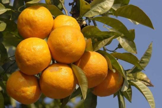 Seville-Oranges